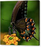 Spicebush Swallowtail On Lantana Blooms Canvas Print