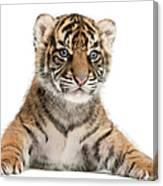 Sumatran Tiger Cub - Panthera Tigris Canvas Print
