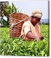 Tea Picker In Kenya Canvas Print