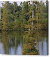 Tennesse Cypress In Wetland  Canvas Print