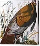 Wild Turkey  Male  Canvas Print