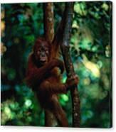 Young Sumatran Orangutan Pongo Pongo Canvas Print