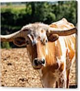 Longhorn Bull In The Paddock Canvas Print