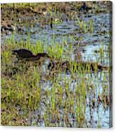 Green Heron Looking For Food Canvas Print