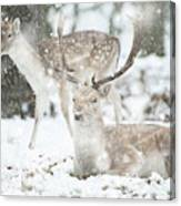Beautiful Image Of Fallow Deer In Snow Winter Landscape In Heavy Canvas Print