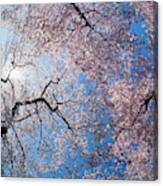 Low Angle View Of Cherry Blossom Trees Canvas Print