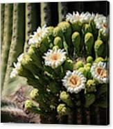 Saguaro Blossoms  Canvas Print