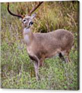 White-tailed Deer (odocoileus Canvas Print