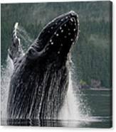 Breaching Humpback Whale, Alaska Canvas Print