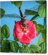 Dragonfly On A Flower Of A Red Rose. Macro Photo Canvas Print