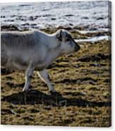 Svalbard Reindeer Canvas Print