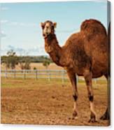 Large Beautiful Camel Canvas Print