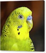 Portrait Of Budgie Birds Canvas Print