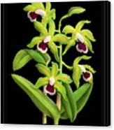 Vintage Orchid Print On Black Paperboard Canvas Print