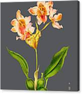 Orchid Old Print Canvas Print