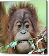 A Close Portrait Of A Young Orangutan Eating Leaves Canvas Print