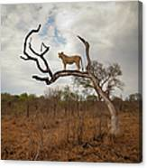 A Female Lion Standing On Bare Branch Canvas Print