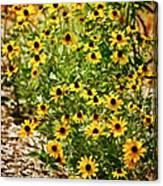 A Group Of Bossoming Black-eyed Susans Canvas Print