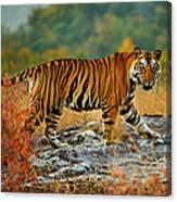 A Large Tiger In Bandhavgarh National Canvas Print