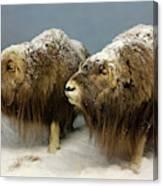 A Pair Of Musk Oxen, International Wildlife Museum, Tucson, Ariz Canvas Print