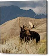 A Really Big Moose Canvas Print