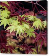 Acer Palmatum Summer Gold Leaves Photograph By Tim Gainey