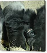 Adult Silverback Gorilla Laying Down With Anguished Expression Canvas Print