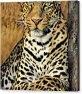 African Leopard Portrait Wildlife Rescue Canvas Print