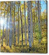 Afternoon Aspens Canvas Print