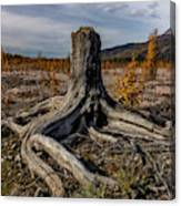 Age-old Stump Canvas Print