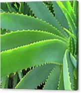 Aloe Vera - Healing Plant Canvas Print
