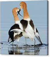 American Avocets, Courtship Dance Canvas Print