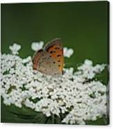American Copper On Queen Anne's Lace Canvas Print