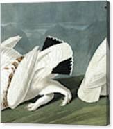 American Ptarmigan, Tetrao Mutus, White Tailed Grous, Tetrao Leucurus Canvas Print