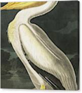 American White Pelican, Pelecanus Erythrorhynchos By Audubon Canvas Print