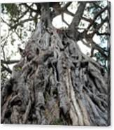 Ancient Olive Tree In The Masai Mara Canvas Print