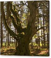 ancient tree in forest near Greenlawin Scottish Borders Canvas Print
