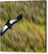Andean Condor Flying Over Torres Del Paine Canvas Print