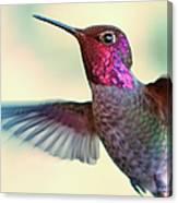 Annas Hummingbird Canvas Print