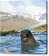 Antarctic Fur Seal In Sea, King Canvas Print