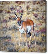 Antelope Buck 2 Canvas Print