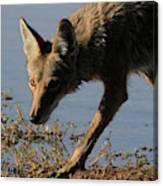 Arizona Coyote  Canvas Print