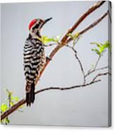 Arizona Ladderback Woodpecker Canvas Print
