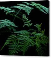 Asparagus Fern Canvas Print
