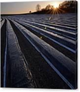 Asparagus Field Canvas Print