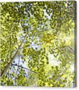 Aspen Canopy With Sun Flare Canvas Print