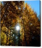 Aspens Sunlight 2 Canvas Print