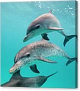 Atlantic Spotted Dolphin Stenella Canvas Print