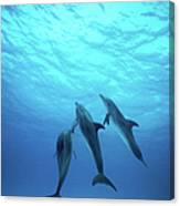 Atlantic Spotted Dolphins Underwater Canvas Print