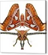 Atlas Moth5 Canvas Print